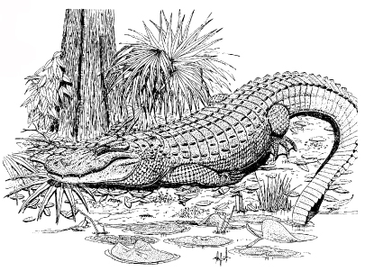 Image:Alligator1.jpg
