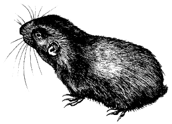 Image:Fig1mountainbeaver.jpg