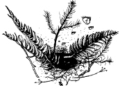 Figure 4. Sword fern and Douglas-fir piled at the entrance of a mountain beaver burrow.