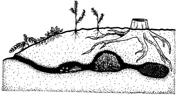 Figure 5. Cross section of part of a mountain beaver burrow system including food cache, nest, and fecal chamber.