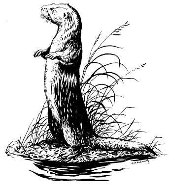 Figure 1. The North American river otter, Lutra canadensis