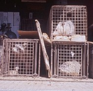 Live traps are effective devices for capturing many species. Shown here are a raccoon, opossum, and woodchuck in the back of a NWCO's truck. Notice that cardboard placed between the cage traps to keep the animals from seeing each other. This may reduce their stress during transport.