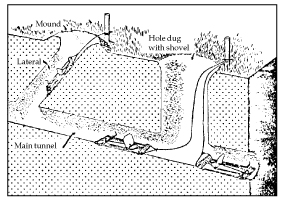 Figure 13. Trap placement in lateral or main pocket gopher tunnels. Note that traps are staked.