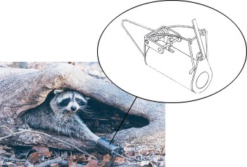 "This trap (Lil' Grizz Get'rz™) takes advantage of the coon's dexterity. Many animals can stick their paws into a ""hole"" (the trap), but most can't grasp and pull out an object that's within. Coons can. The object is the trigger, and they'll try to pull it out, which fires the trap."