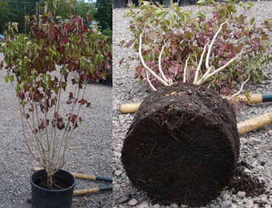 side by sie piture showing stressed shrub on the left and the root ball on the right